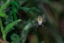 Large, colorful spider. Wasp spider (Argiope bruennichi) on web. Black and yellow stripe. Water drops. Dew.