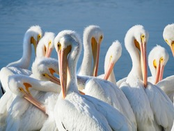 Large Group of American White Pelicans Preening at the Waters Edge