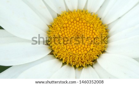 large ornamental daisies, ornamental daisies in the garden, very large,                              #1460352008
