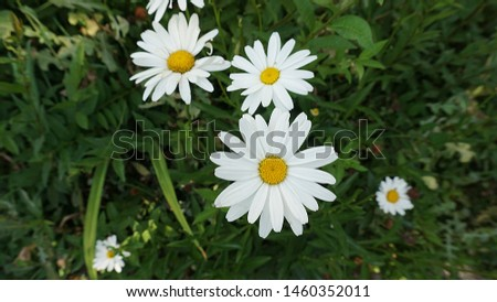 large ornamental daisies, ornamental daisies in the garden, very large,                              #1460352011