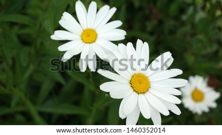 large ornamental daisies, ornamental daisies in the garden, very large,                              #1460352014