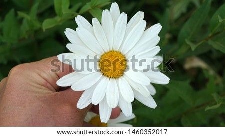 large ornamental daisies, ornamental daisies in the garden, very large,                              #1460352017