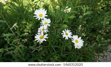 large ornamental daisies, ornamental daisies in the garden, very large,                              #1460352020