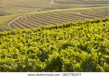 Large vineyards of the Rias Baixas region in Pontevedra, Galicia, Spain. The vines of this plantation produce 'albariño' type grapes with which one of the best white wines in the world is produced. Сток-фото ©