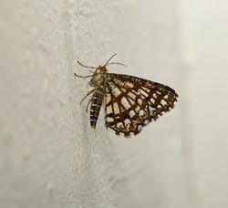 Latticed heath (Chiasmia clathrata) is a moth of the family Geometridae.