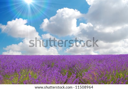 lavender field with cloudy sky and sun in the background