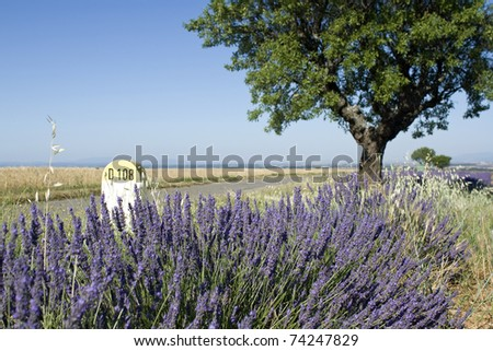 Lavender on roadside, Provence. France