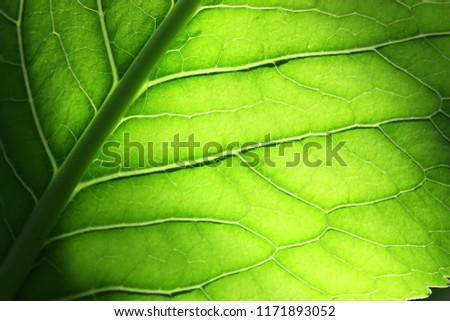 Leaf Horse-radish close up. Macro. Armoracia rusticana. Armoracia.  Brassicaceae Family.