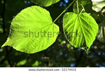 leaf tree in the sun