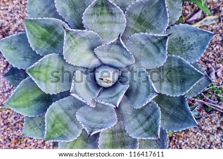 leaves of a blooming agave plant  in the desert