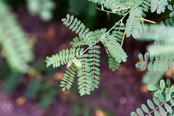 Leaves of true indigo shrub in the summer garden.
