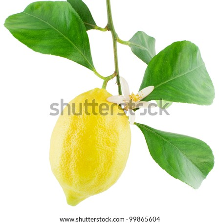 Lemon  on a branch with leaves and a flower Isolated on a white background