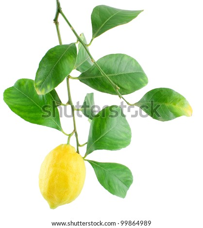 Lemon on a branch with leaves Isolated on a white background