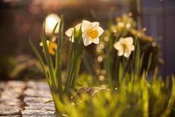 Lent lily in backlit nice bokeh