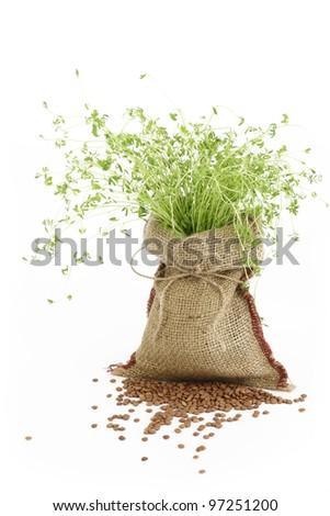 Lentil plant in a burlap sack