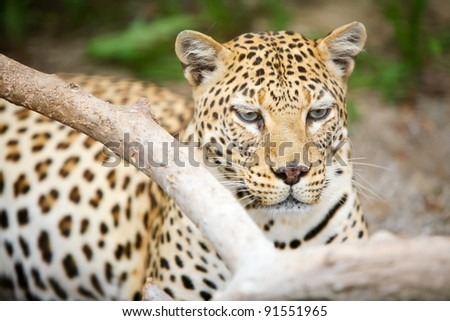 Leopard. Leopard resting on the floor.