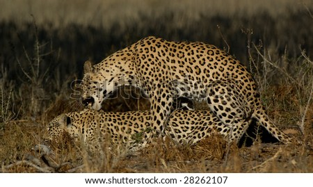 04-Leopard (Panthera pardus) mating, Kgalagadi Transfortier Park, South Africa