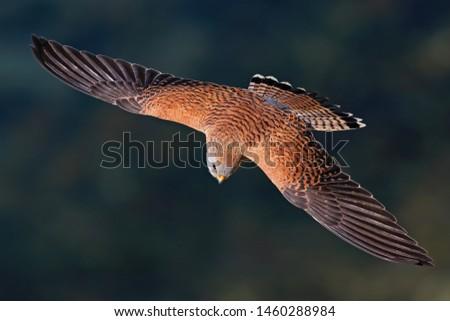Lesser Kestrel  Falco naumanni falcon küçük kerkenez  Stok fotoğraf ©