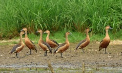 lesser whistling duck bird in a group