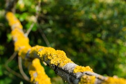 lichen yellow on the trunk of a tree