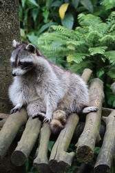 life of racoon in the zoological park of Guadeloupe, carribean island. racoon is the symbol animal of the guadeloupe island.