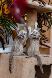 light and white brown and dark Bengal kittens play and live at home as in the wild