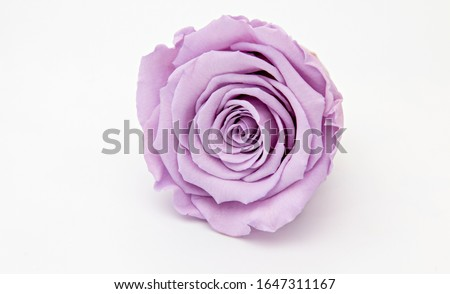 Lila rose flower preserved isolated on white background, luxury gift. Foto stock ©