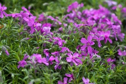 Lilac Phlox subulata (Creeping Phlox) - creeping plant with small pink flowers to decorate flower beds. Floral background