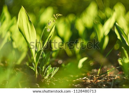Lily of the valley forest flowers. Nature. Lily of the valley on Green background.