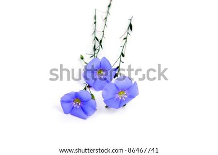 Linum usitatissimum beautiful blue flowers on white