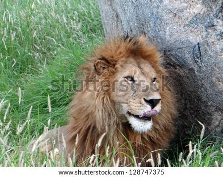 lion in serengeti park, tanzania,  africa