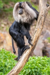 Lion Tailed Macaque sitting in zoo on branch
