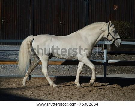 Stock Photo  Lipizzaner stallion in Federal Stud Piber in Koeflach,Austria.