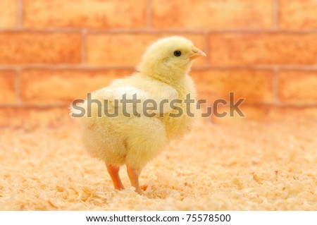 little chicken on a farm.