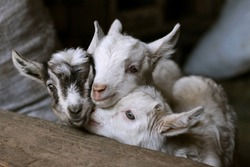 Little goats in a stable