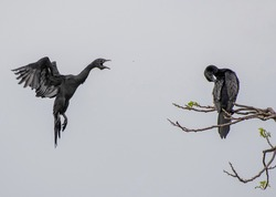 2 Little Male Cormorant fighting for space