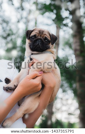 little pet in his arms. pug at the hands of the hostess. professional photo of a pug breed dog. pug for a walk in the park