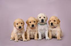 4 little puppies golden retriever puppy sit on the background. Dog golden retriever. Puppy golden retriever