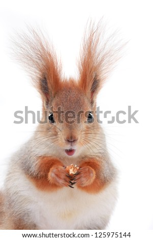 little squirrel eats hazelnut on a white background