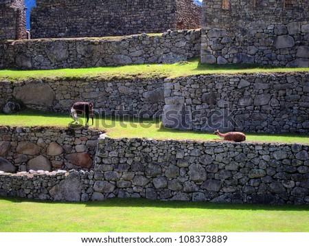 Llama on the terraces of the famous Machu Picchu, Peru