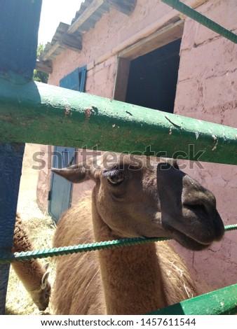 llama's muzzle peeking out of the valier #1457611544
