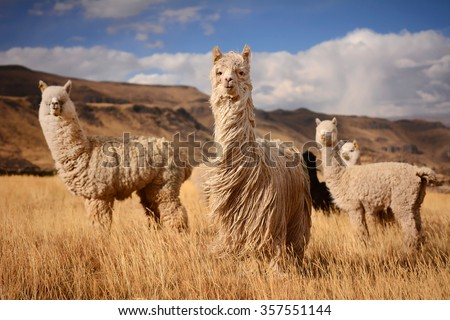 """Long hair"" llamas in Mountains, Andes, Peru #357551144"