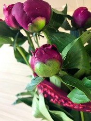 Сlose-up of beautiful maroon flower pion on a background of green leaves. Spring blooming. Burgundy peony flower with bright juicy leaves. Botanical concept for catalog. Floral shop theme.
