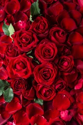 Lots of beautiful red roses