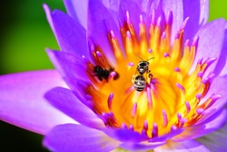lotus blossom or water lily flower blooming with bees