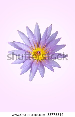 lotus. Purple lotus. - stock photo