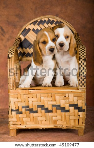 2 Loving Beagle puppies sitting on woven bamboo chair