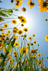 Low angle shot of large yellow flowers blooming in a field