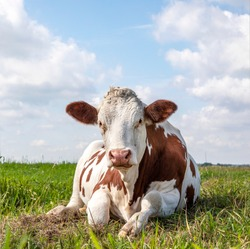 Lying relaxed cow. Brown and white, comfortable ruminating in a meadow and a blue sky and straight horizon