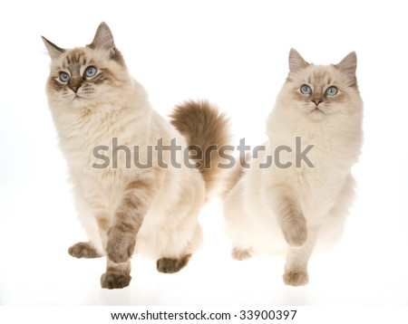 2 lynx Ragdoll cats with raised paws, on white background